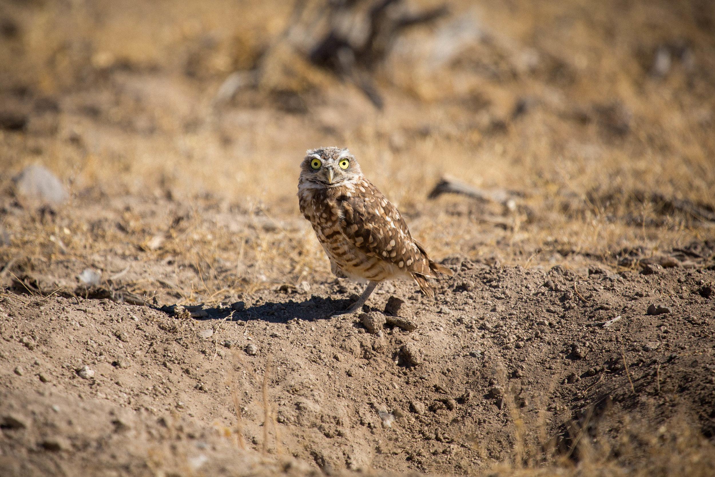 BURROWING_OWL.jpg