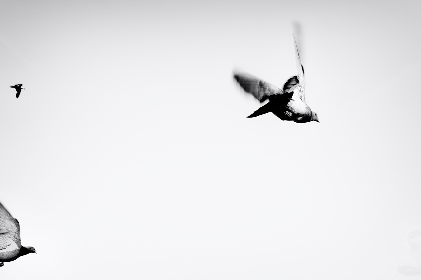 Pigeons in flight by Me & I Photography