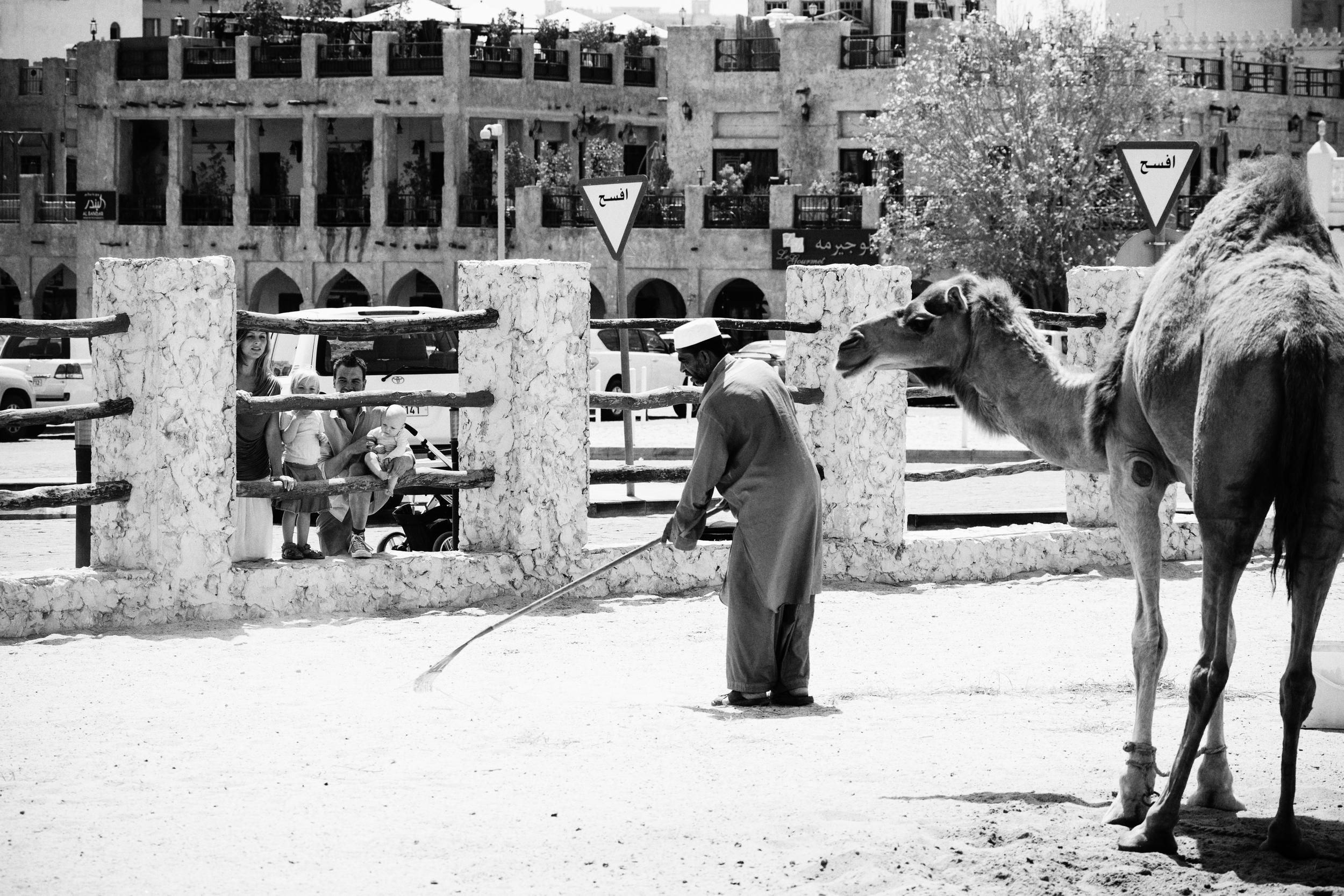 Kamelpasseren går og ordner i folden, Doha.
