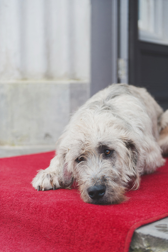 Irish wolfhound at Bellingham Castle Hotel