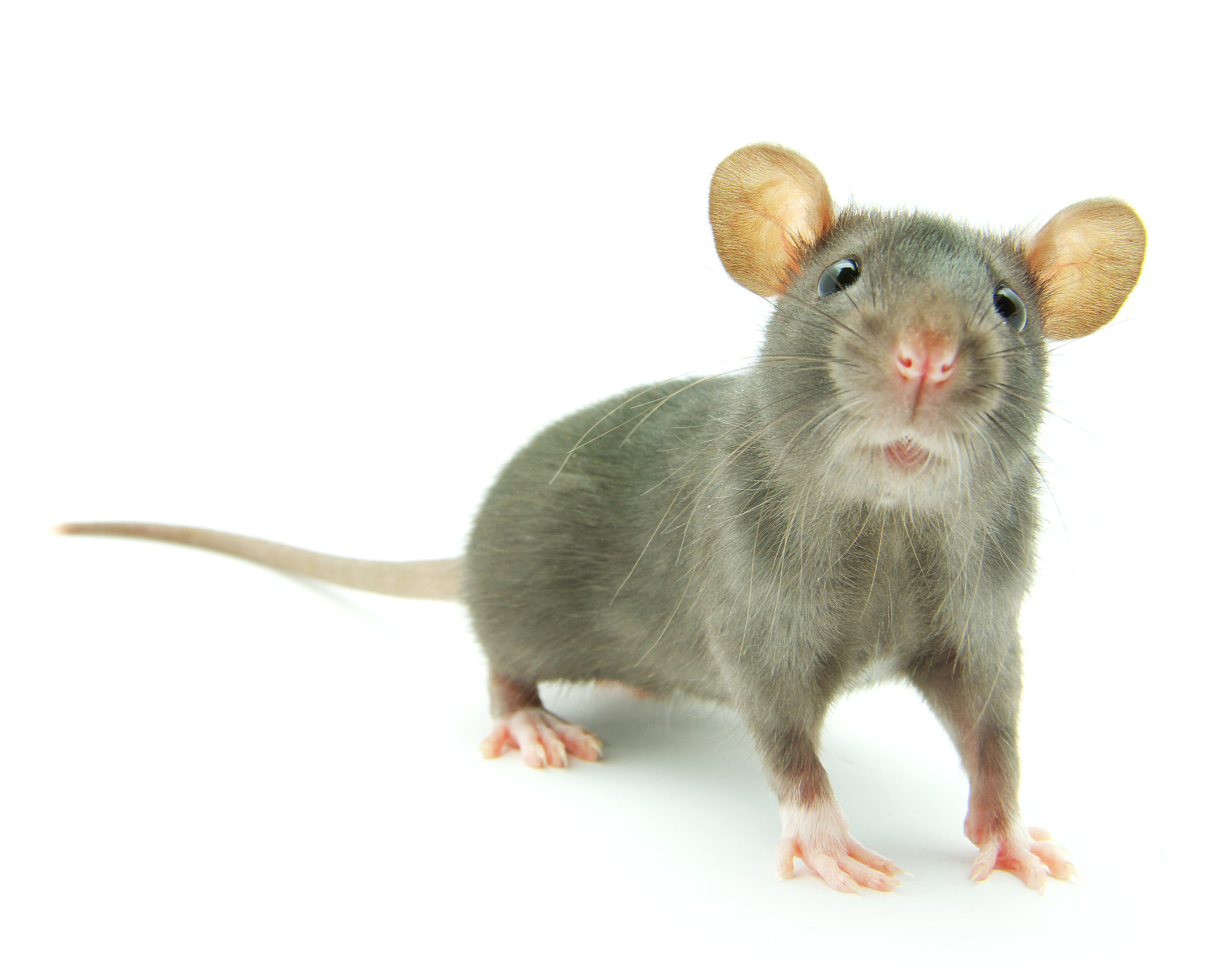 Control Rats In Your Zoo