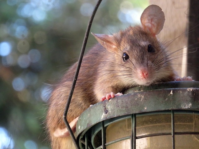 Warning - Rats Do More Than £370m Of Damage To Cars Every Year