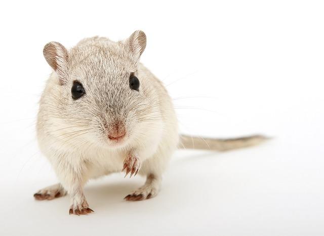 Rats As A Pet