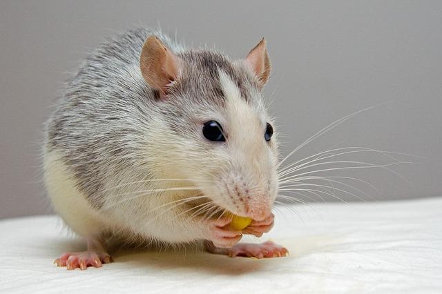 Do Vinegar And Peppermint Oil Make Good Rat Repellents?