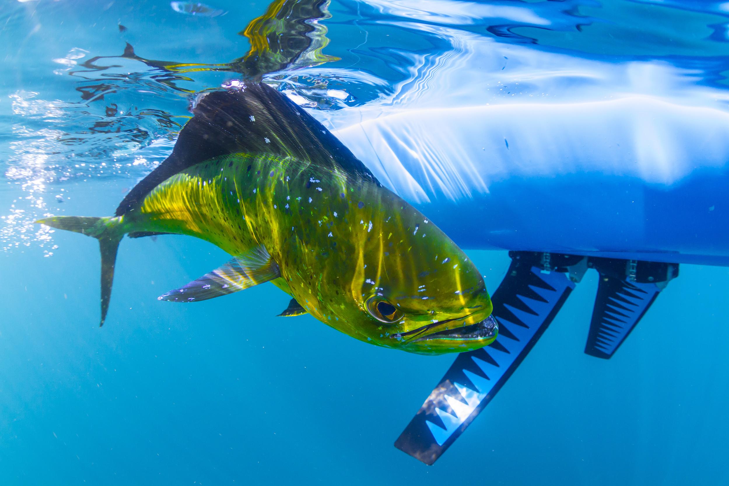 MadFish-4451_Dorado.jpg