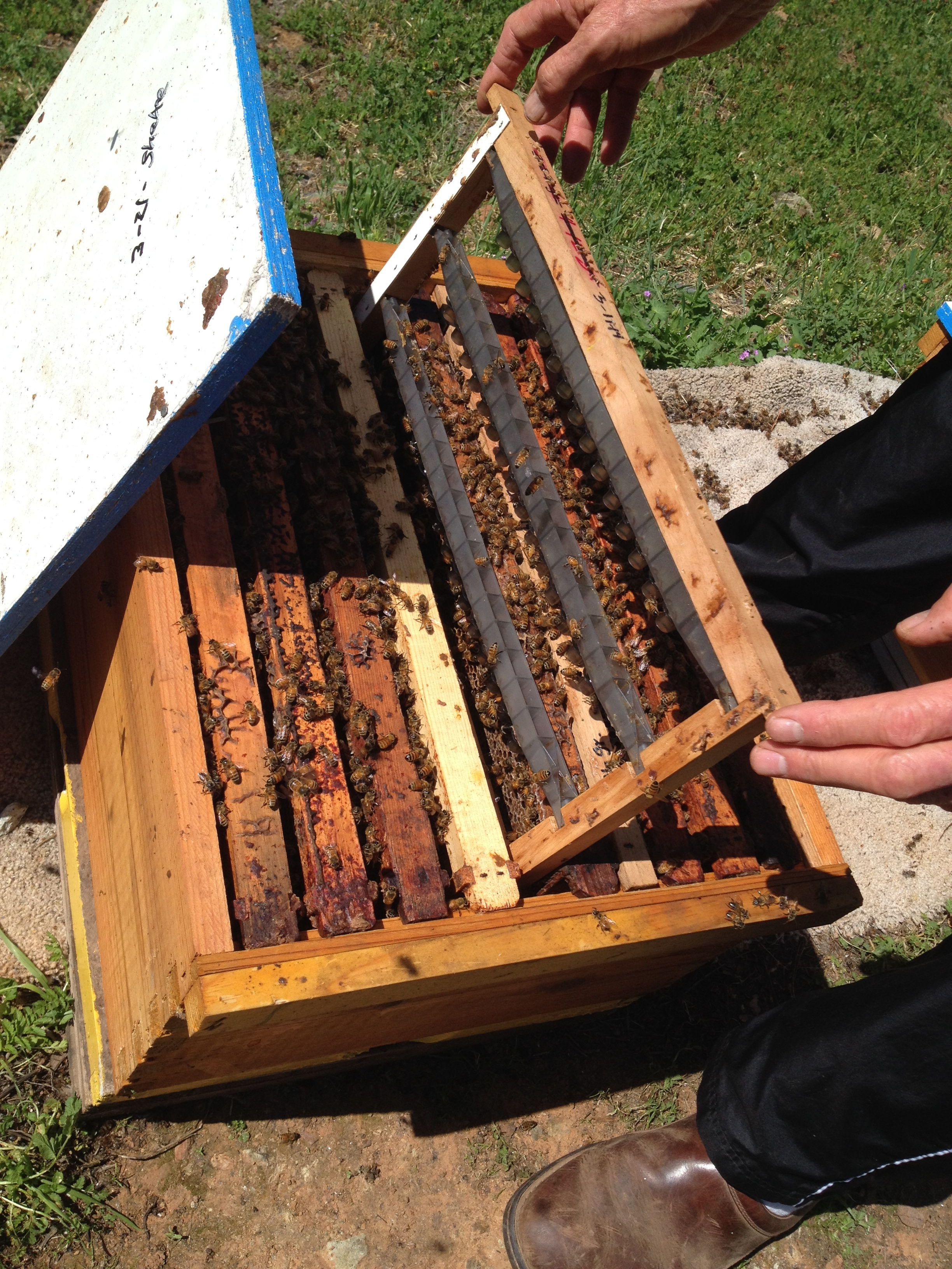 Placing the grafted queen cells in a nuc hive for the young nurse bees to rear.