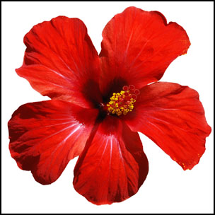 I came to love this beautiful flower the first time I went to Brazil in 1981. It grows everywhere and cheers up the city and the countryside. Bees love this flower but our buzzing ladies never get to taste this nectar because it is a tropical plant. I want to share with you the tremendous benefits of this flower and therefore the benefits of hibiscus tea.