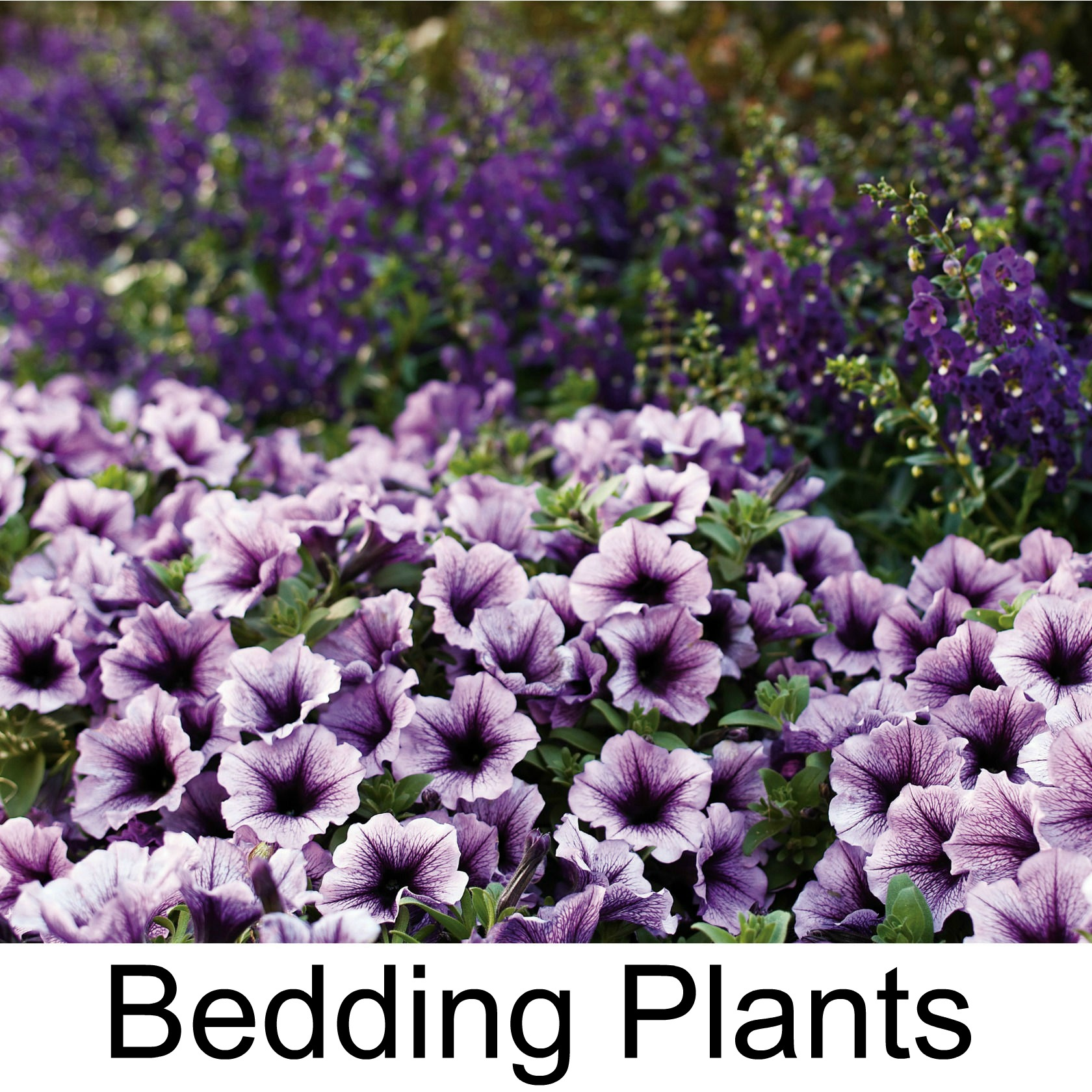 bedding plants3.jpg