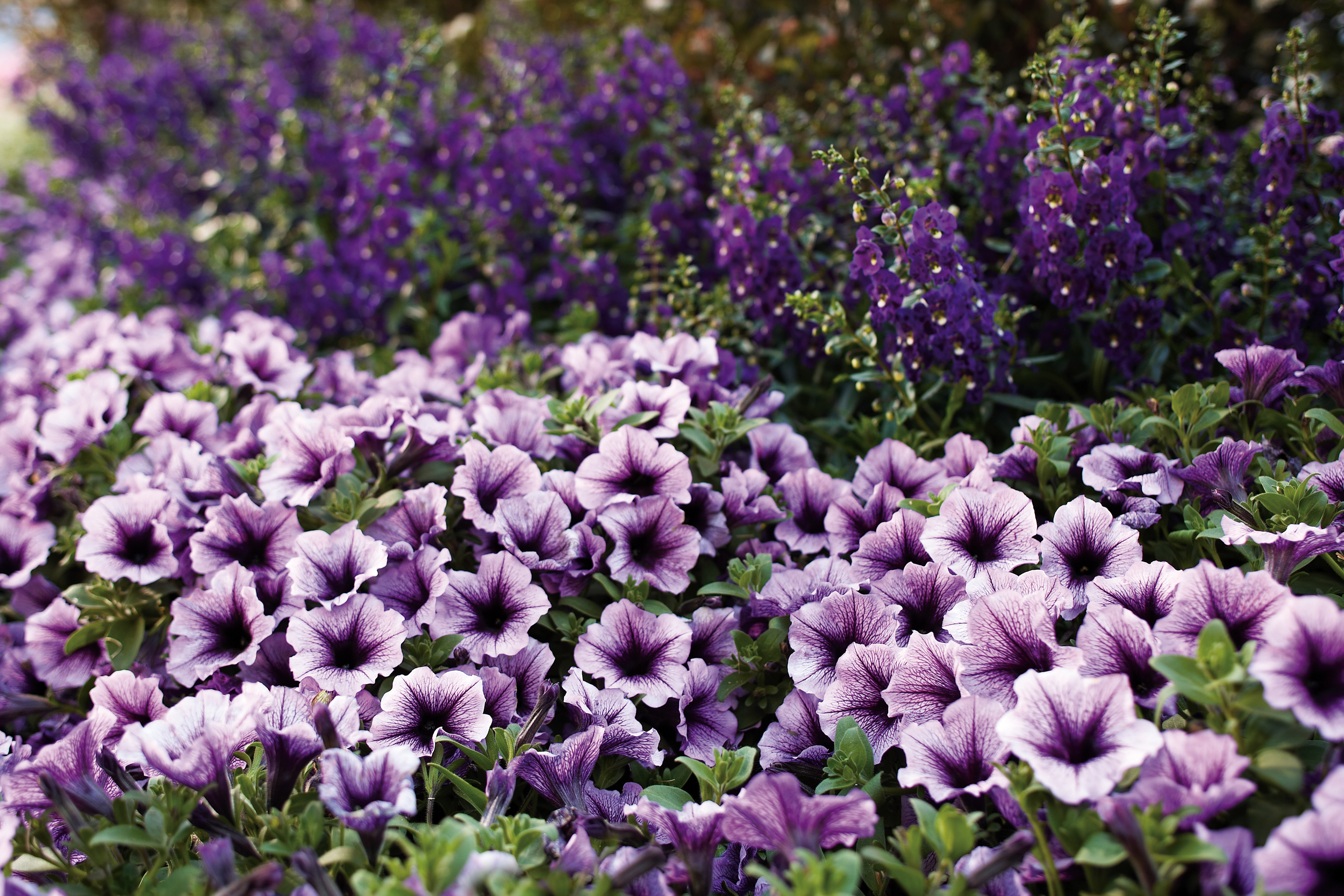 bedding plants.jpg
