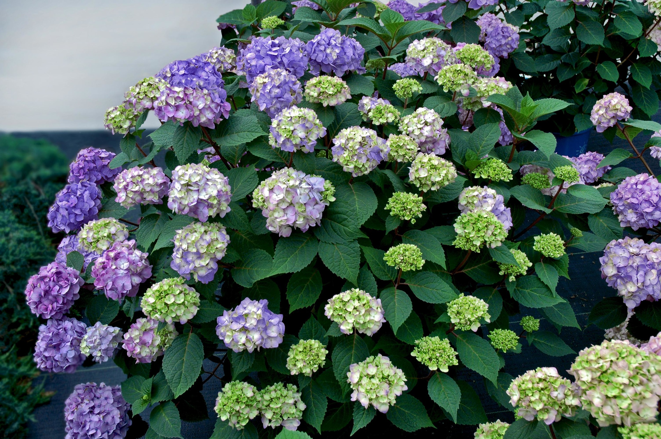 Hydrangea-macrophylla-P11HM-11-Endless-Summer-Bloomstruck-photo-Baileys-Nurseries.jpg