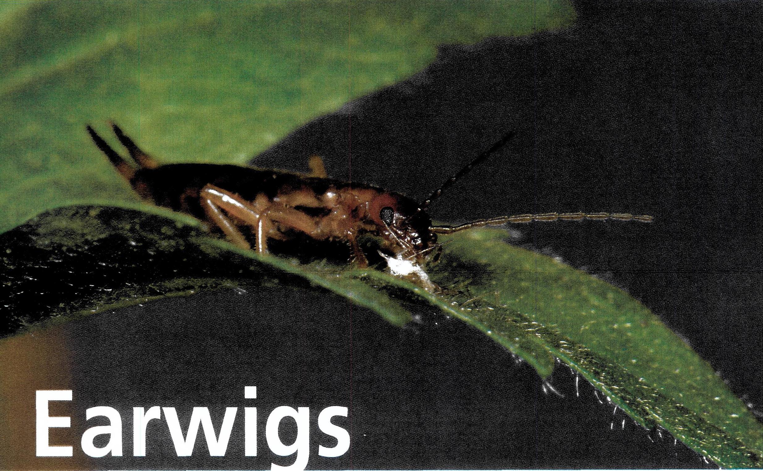 earwigs.png