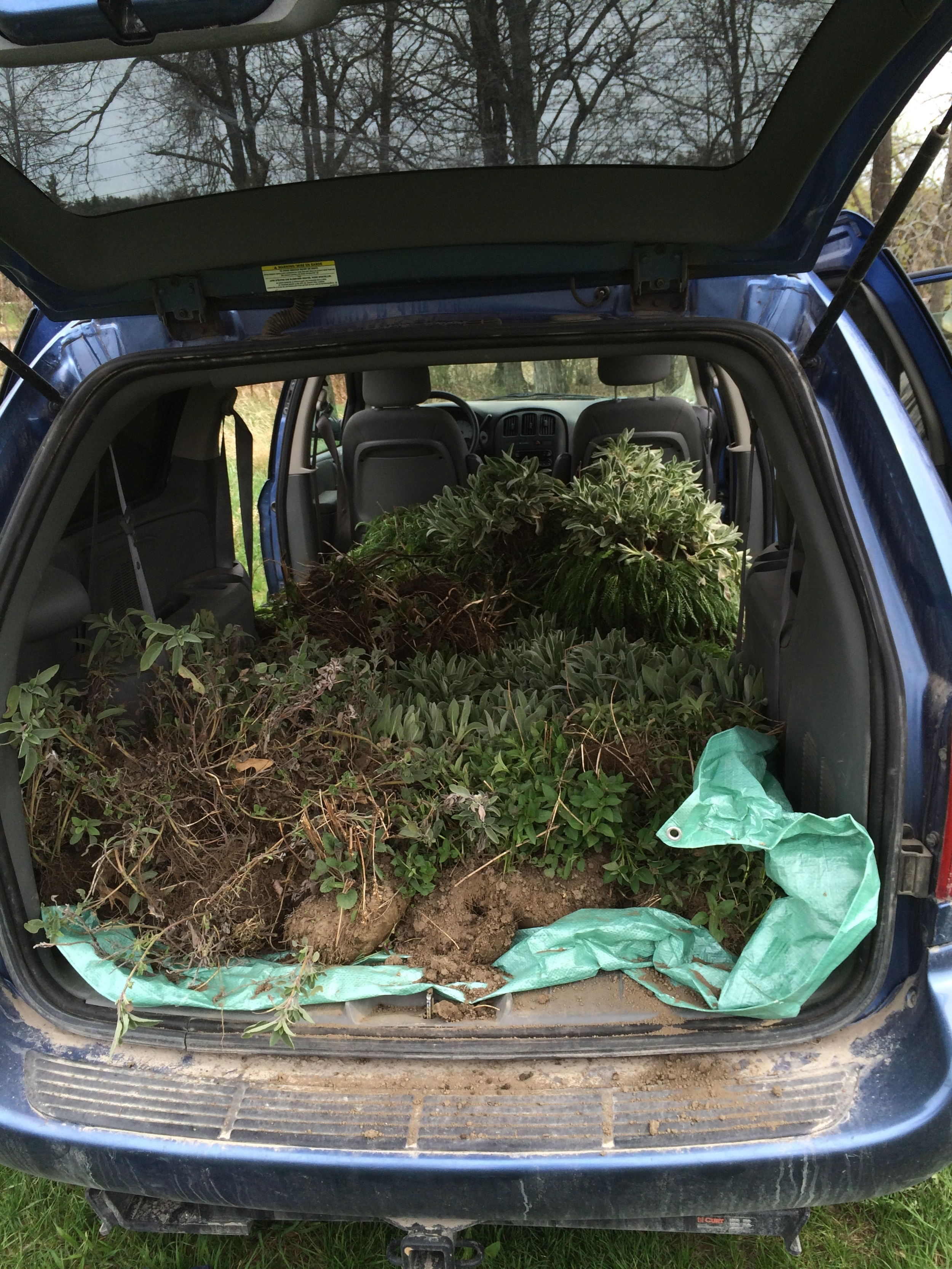 Moving perennials from last year's garden to the new garden.