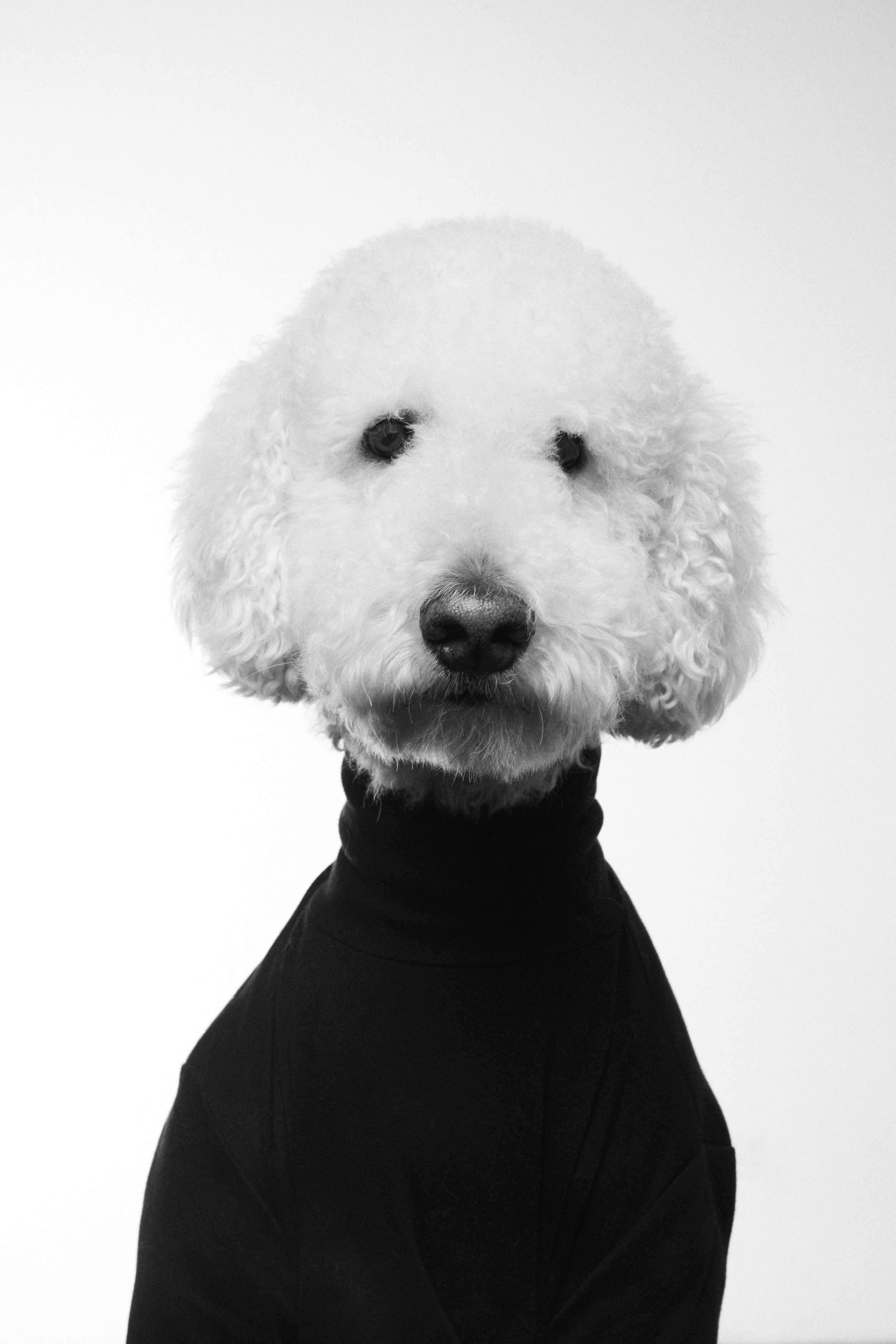 German the Poodle Portrait 1