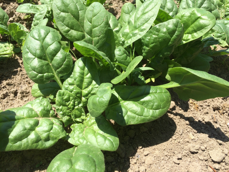 'Tyee' Spinach-a great spring variety