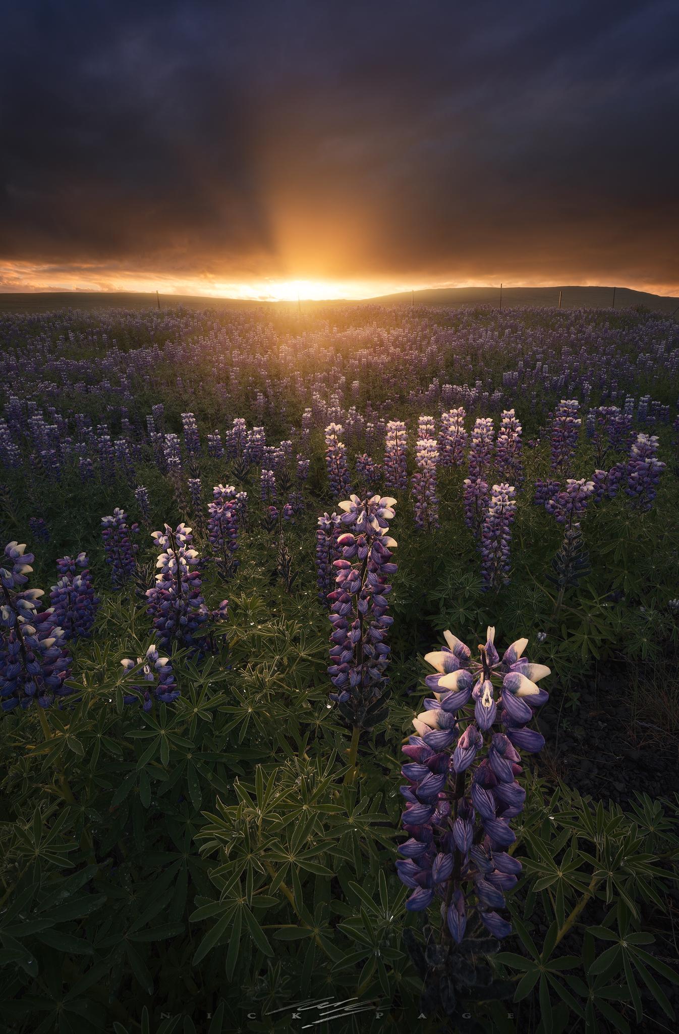 lupine-sunrise.jpg
