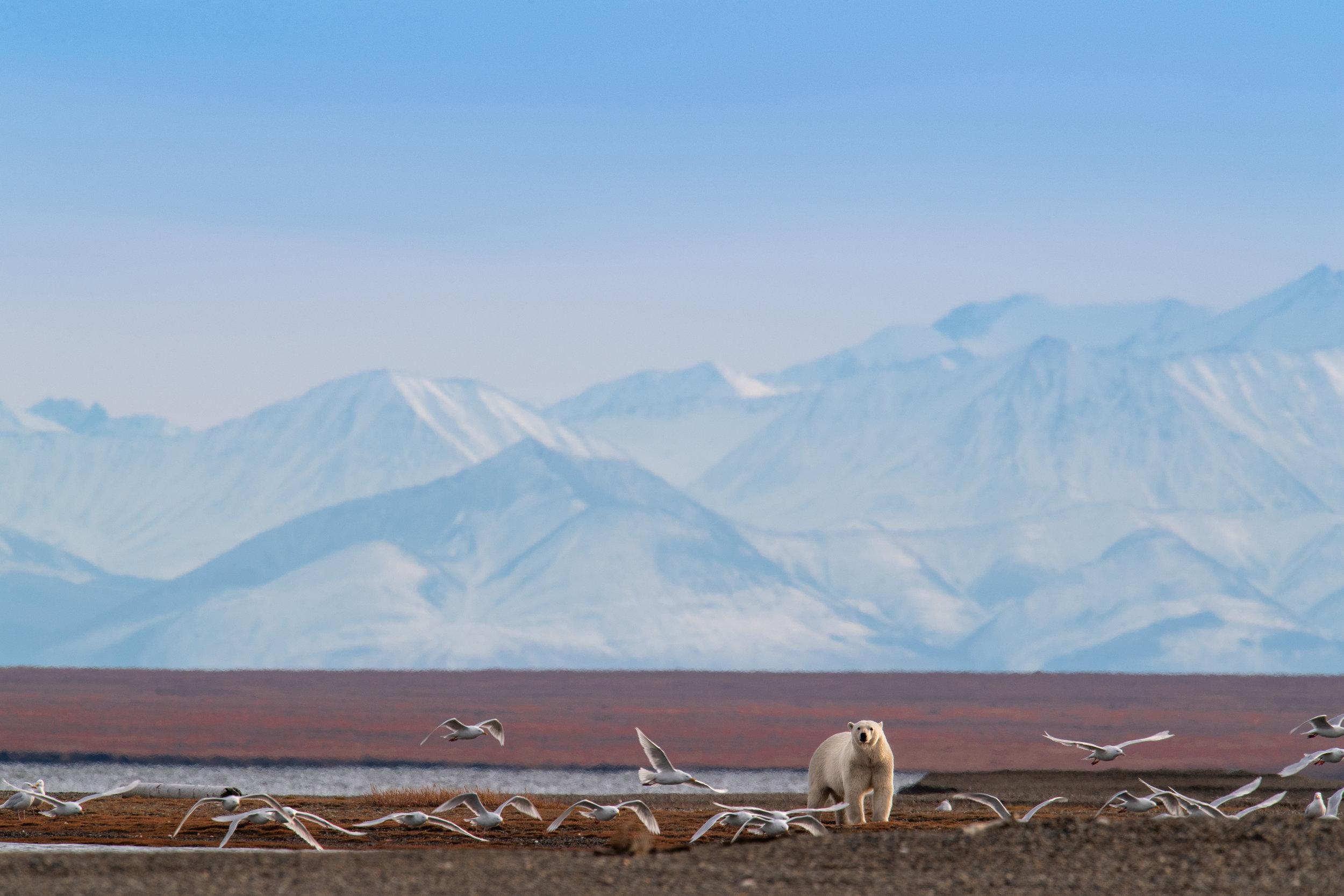 Polar Bear Brooks Range.jpg
