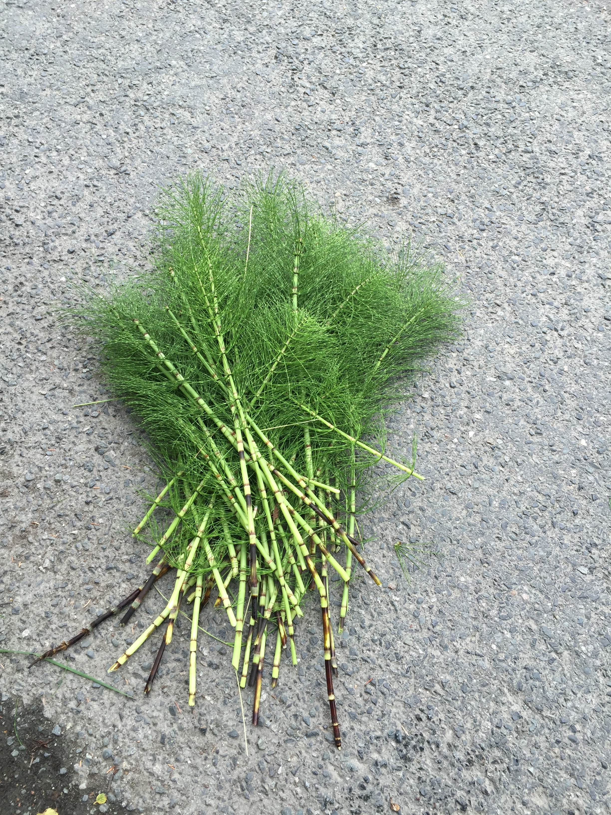Horsetail, which is an invasive weed found all over the island.
