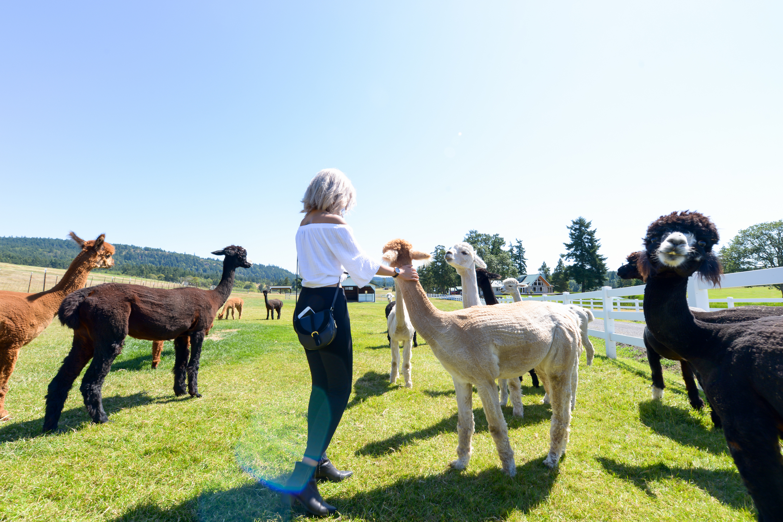 Alpaca Farm San Juan Islands By Lisa Linh Lisa Linh