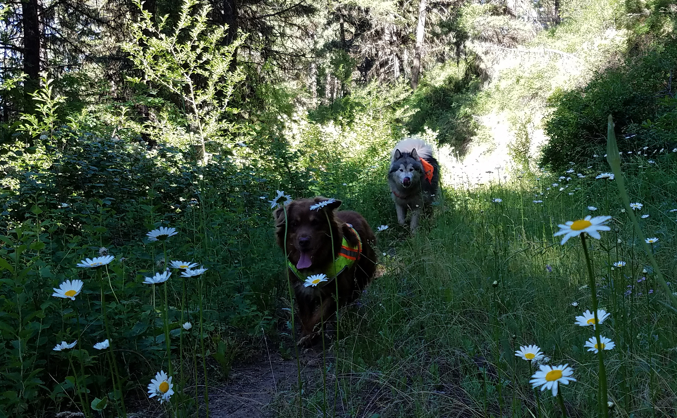 Running a trail through some daisies.