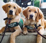 Raising Guide Dog Puppies