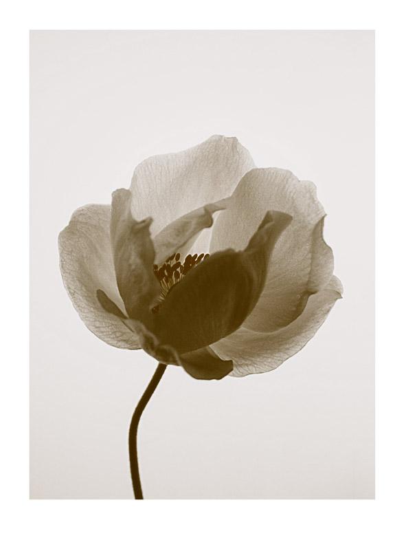 Anemone-fw-border.jpg