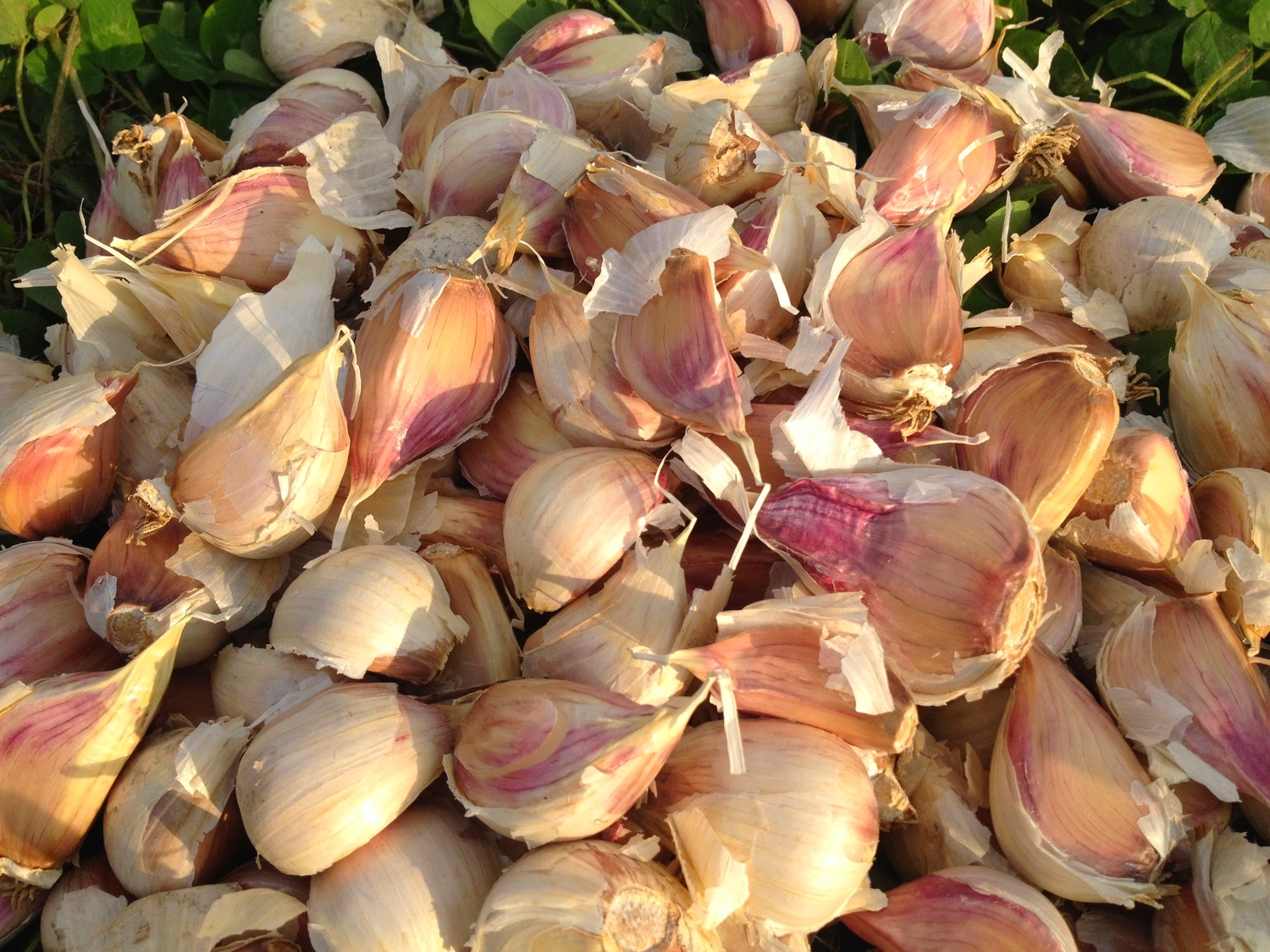 Garlic separated from the heads, ready for planting.