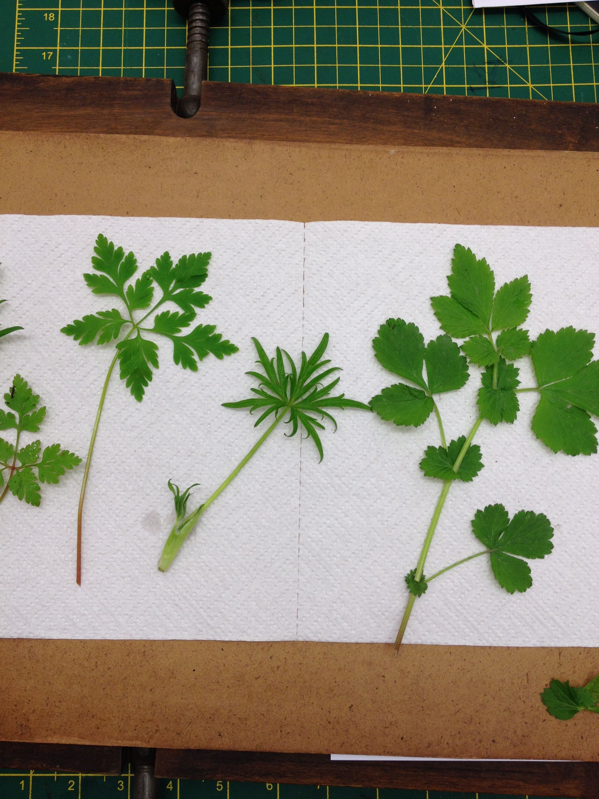 A selection of foliage from the Gwydir forest, ready to be pressed.