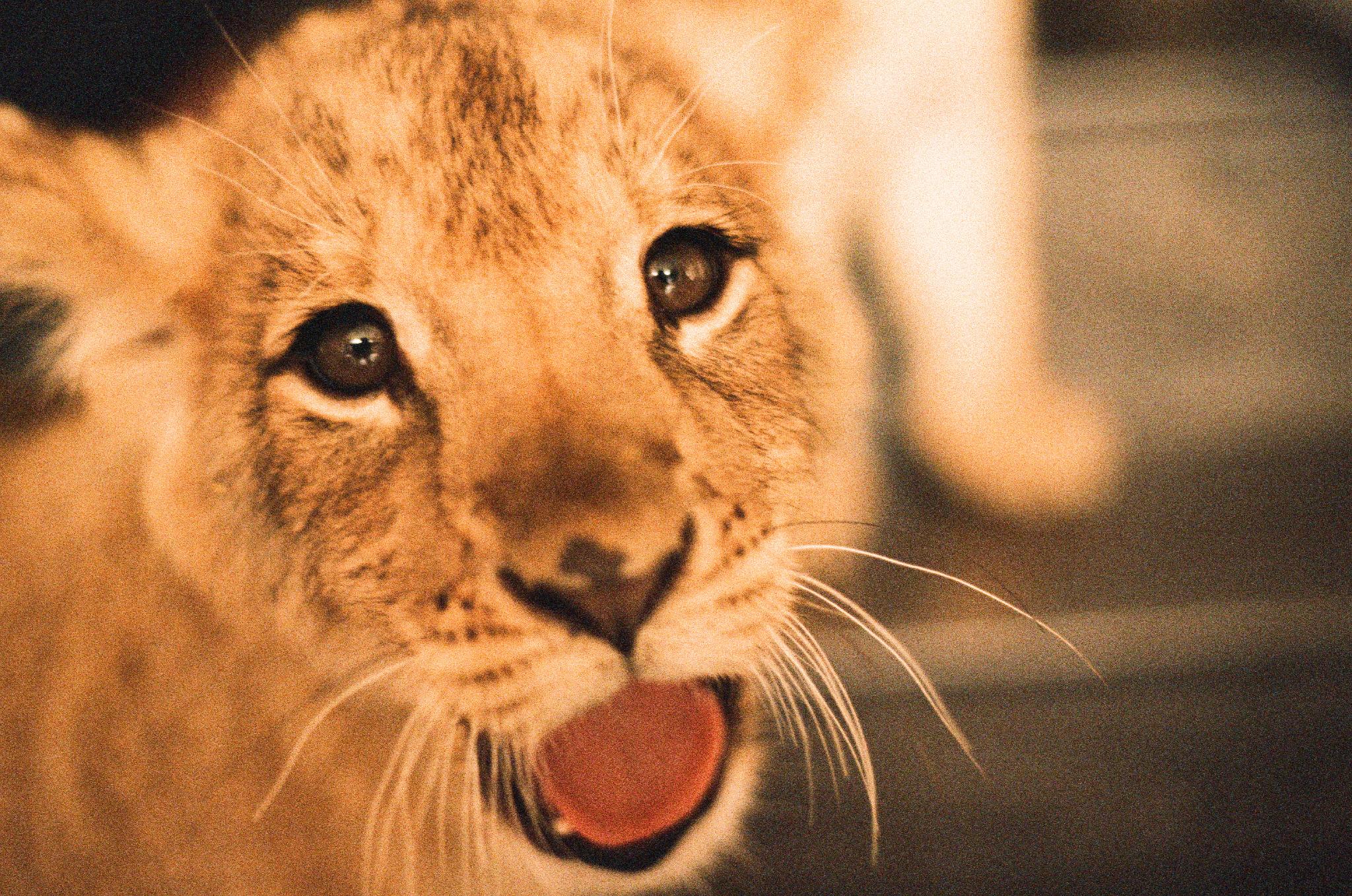 lions 9.jpeg