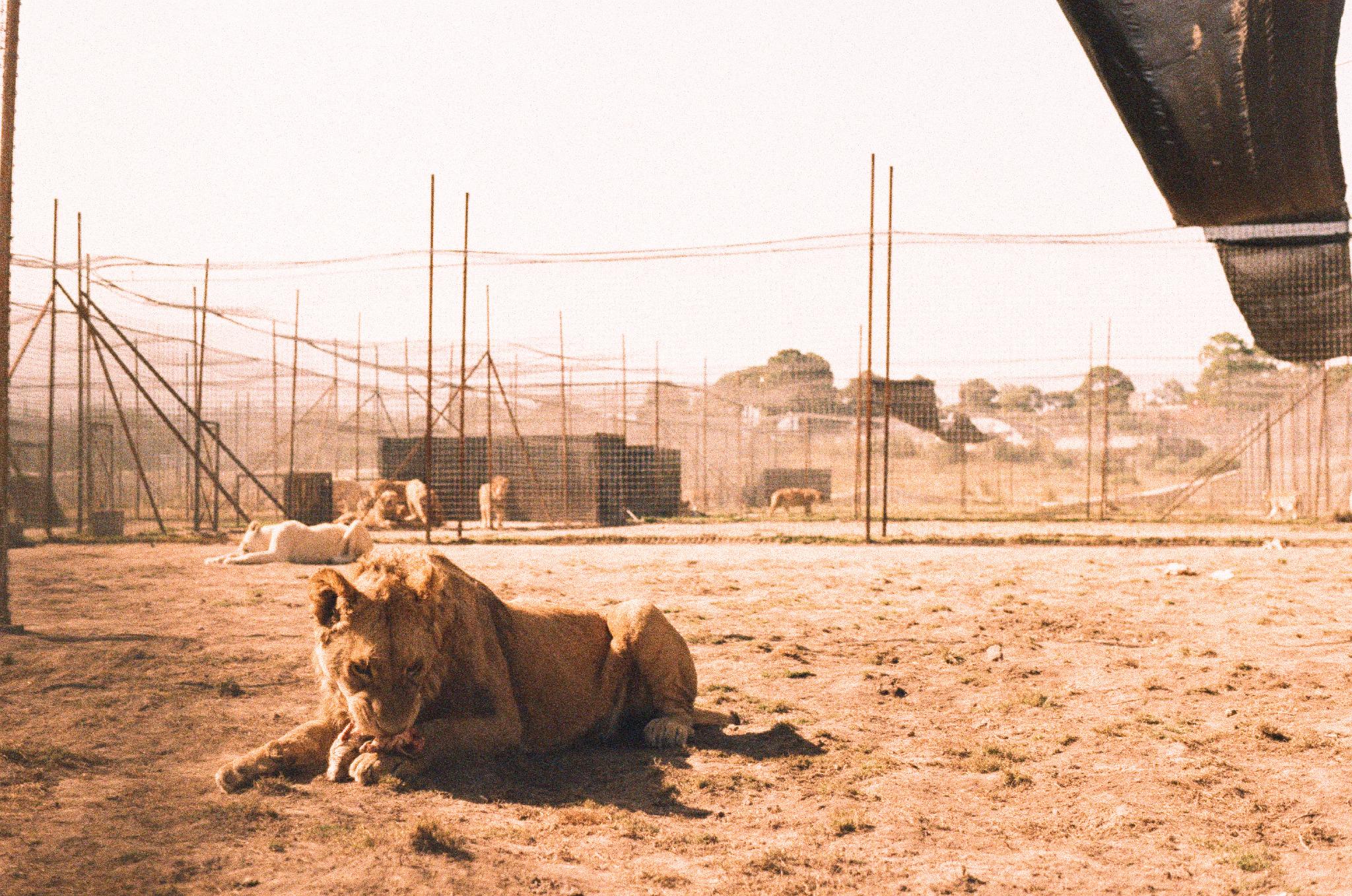 lions eating 2.jpeg
