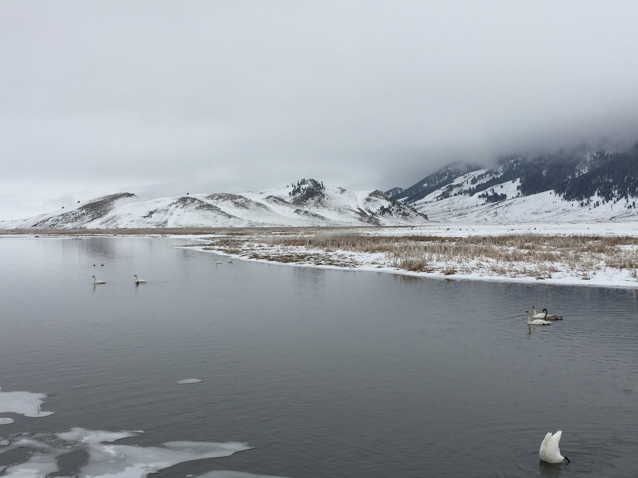 National Elk Refuge & Trumpeter Swans
