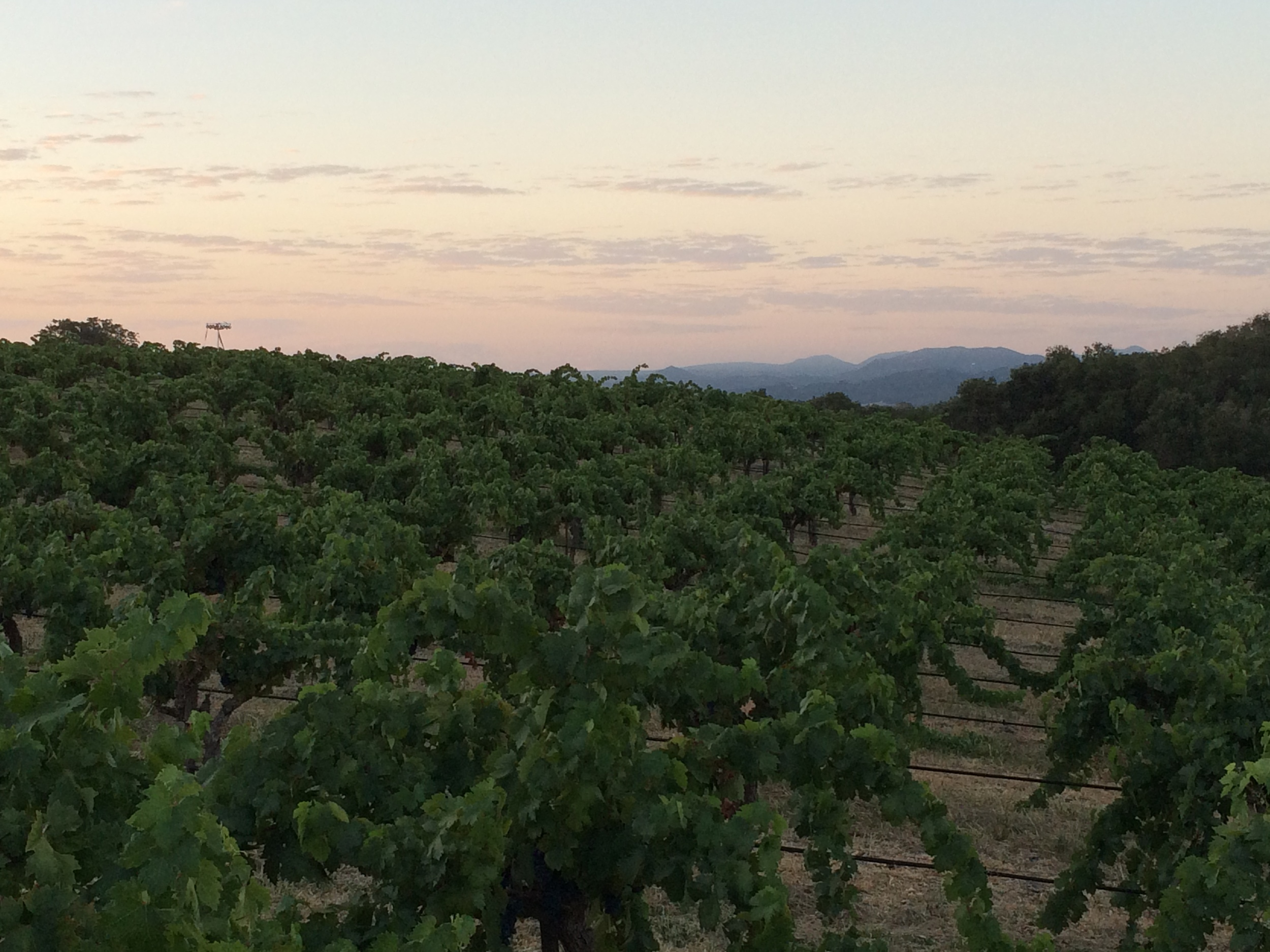 Our happy, healthy, compost-tea-fed vines at sunrise, just before our first harvest of 2015.