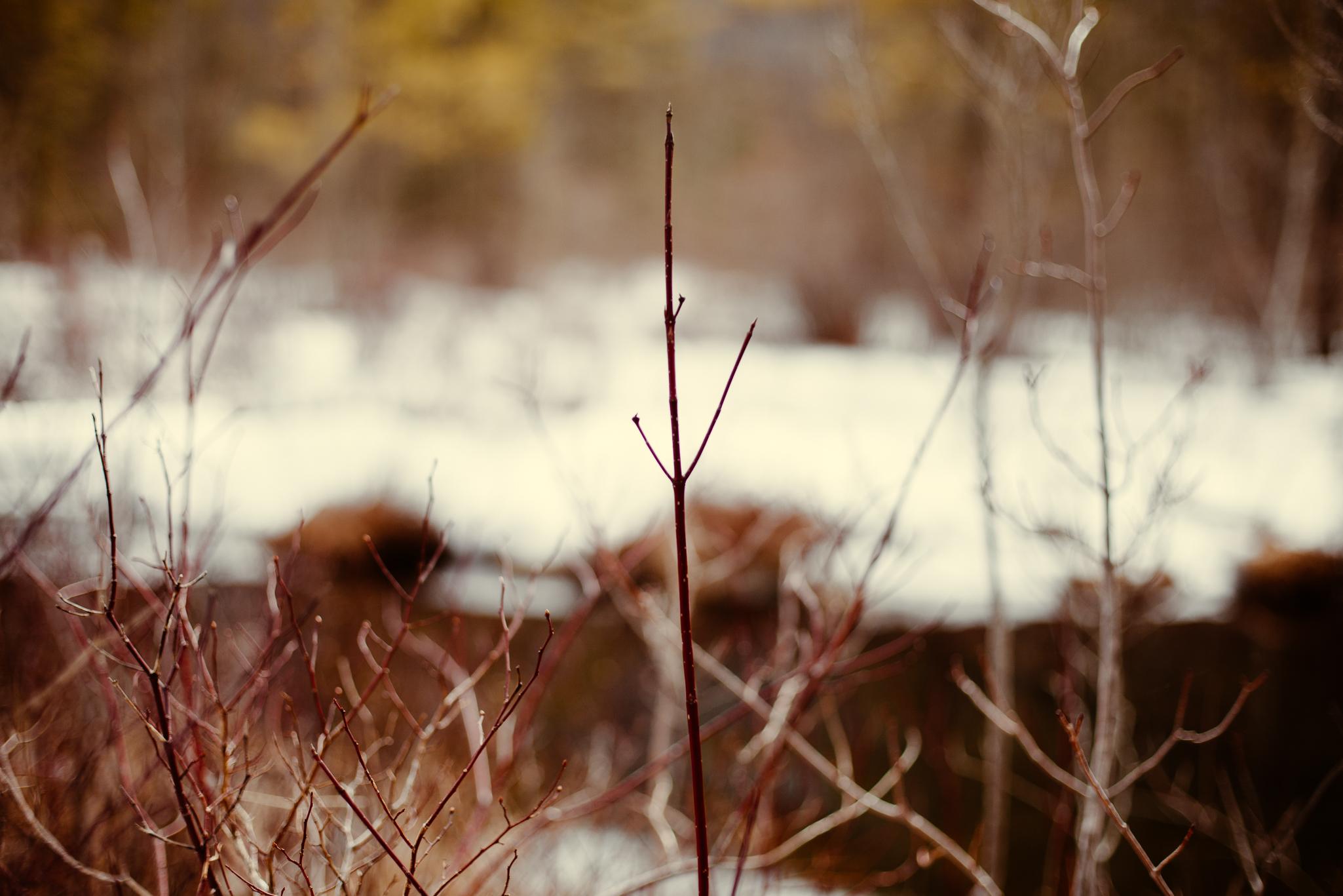 red-winter-bush-branch