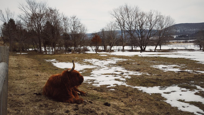 upstate-newyork-farm-muskox