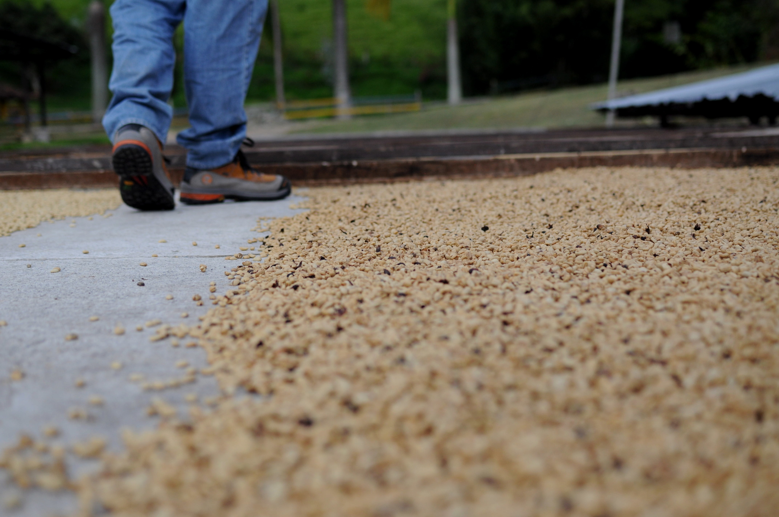 After being depulped, fermented, washed, and sorted, seeds dry either on a patio or in a mechanical drying silo.