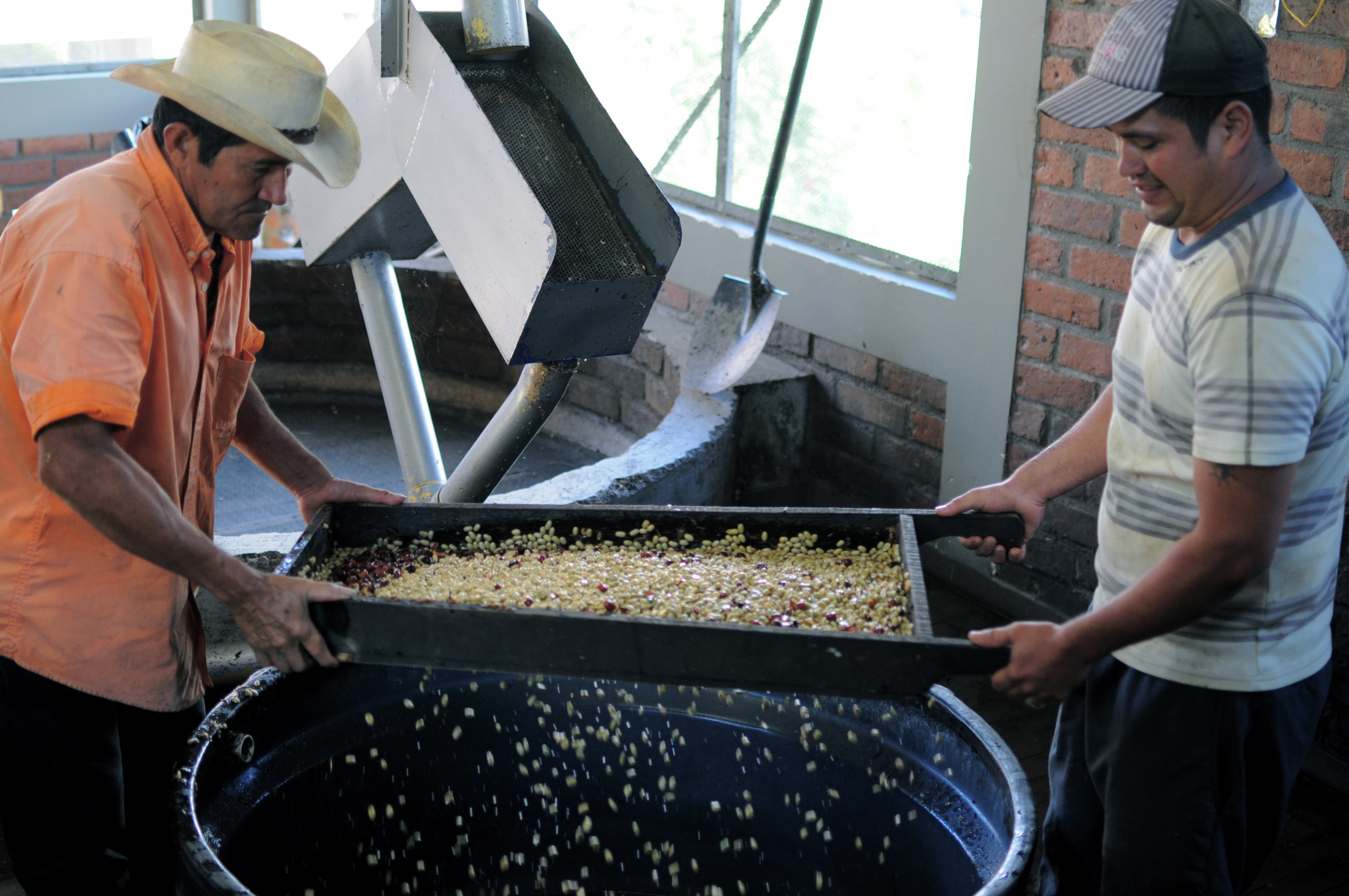 Seeds are then manually sorted to remove any remaining cascara or defects.  Everything is sorted into taza (cup profile) and segunda (second tier coffee).