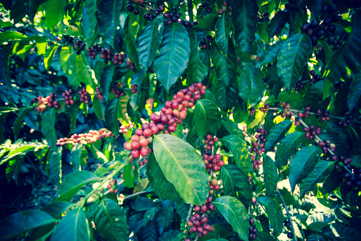 Nearly ripe coffee cherries at Finca El Rosario