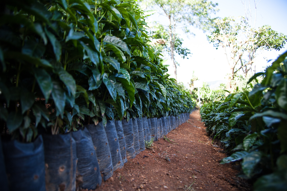 Just some of the thousands of young coffee plants Luis is experimenting with and preparing to plant.
