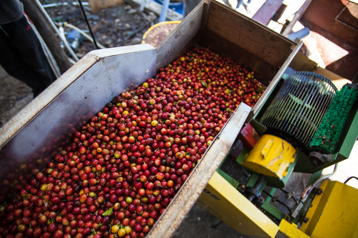Fresh picked coffee cherry comes down the shoot to be processed at a primitive mill in Costa Rica.