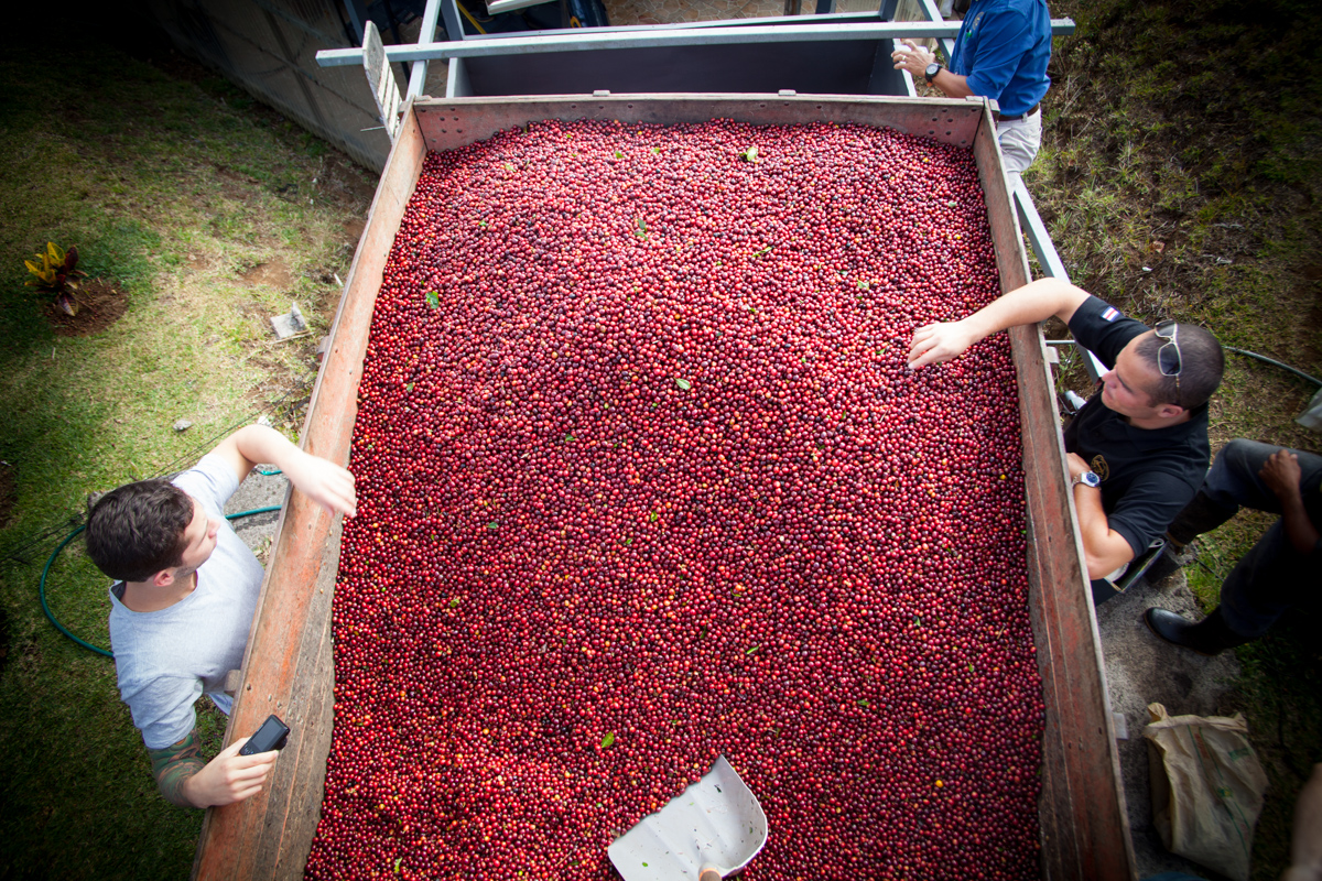 View from the top of a truck with today's coffee cherry haul. It will be dumped, sorted and dried.
