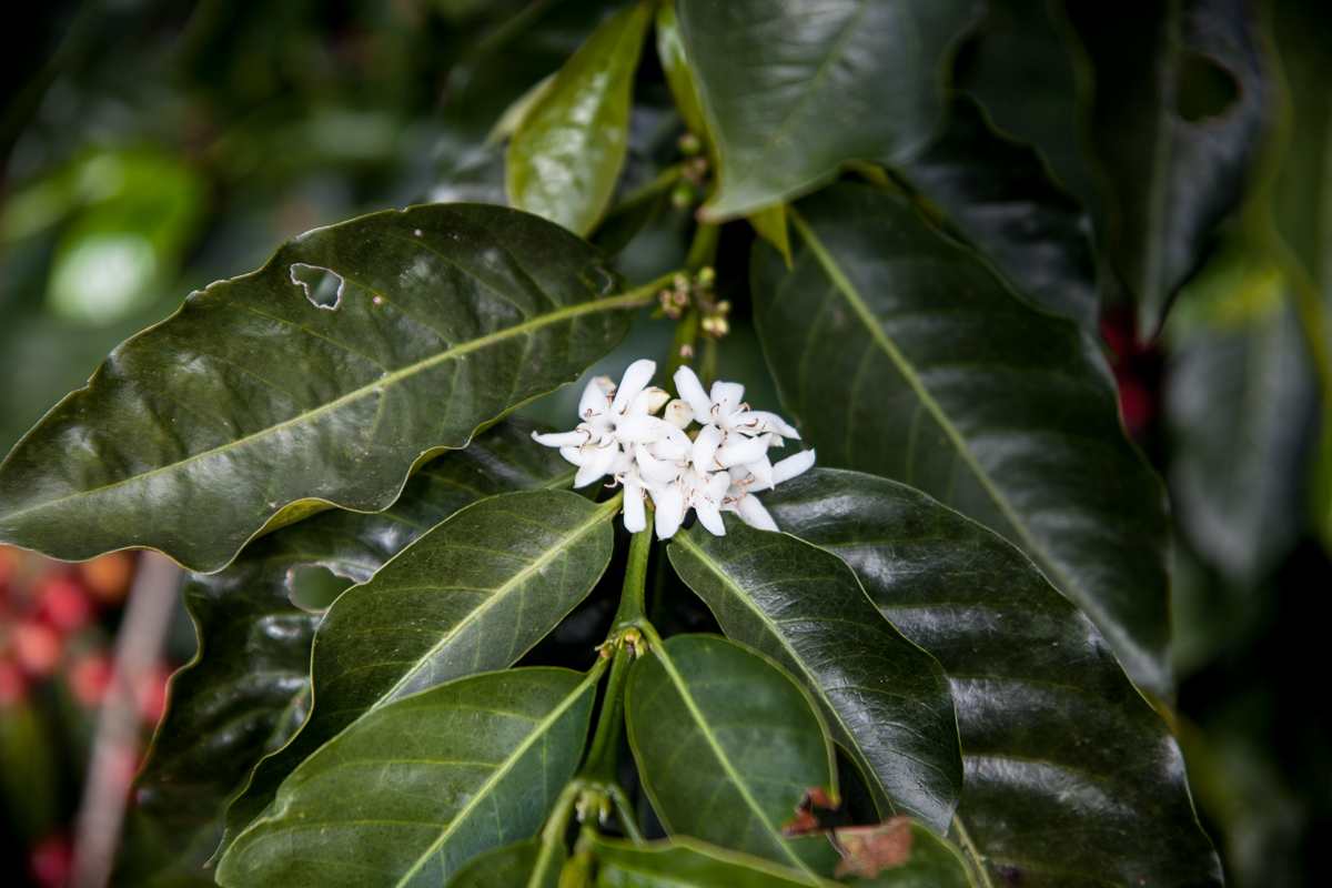 A coffee flower. Before a coffee plant produces coffee cherries it flowers.  Muy hermosa !