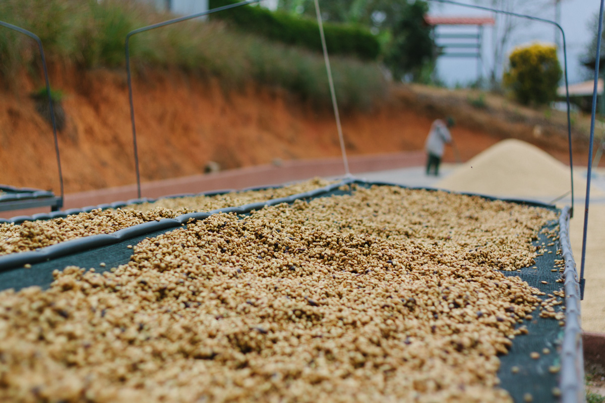 """Coffee with mucilage dries in Costa Rica. The amount of mucilage and drying time determines the type of """"honey process."""""""