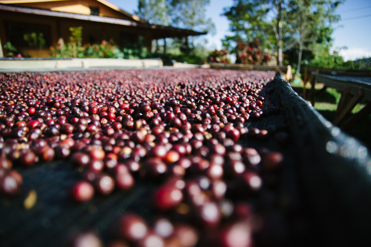 Coffees drying with the cherry intact.
