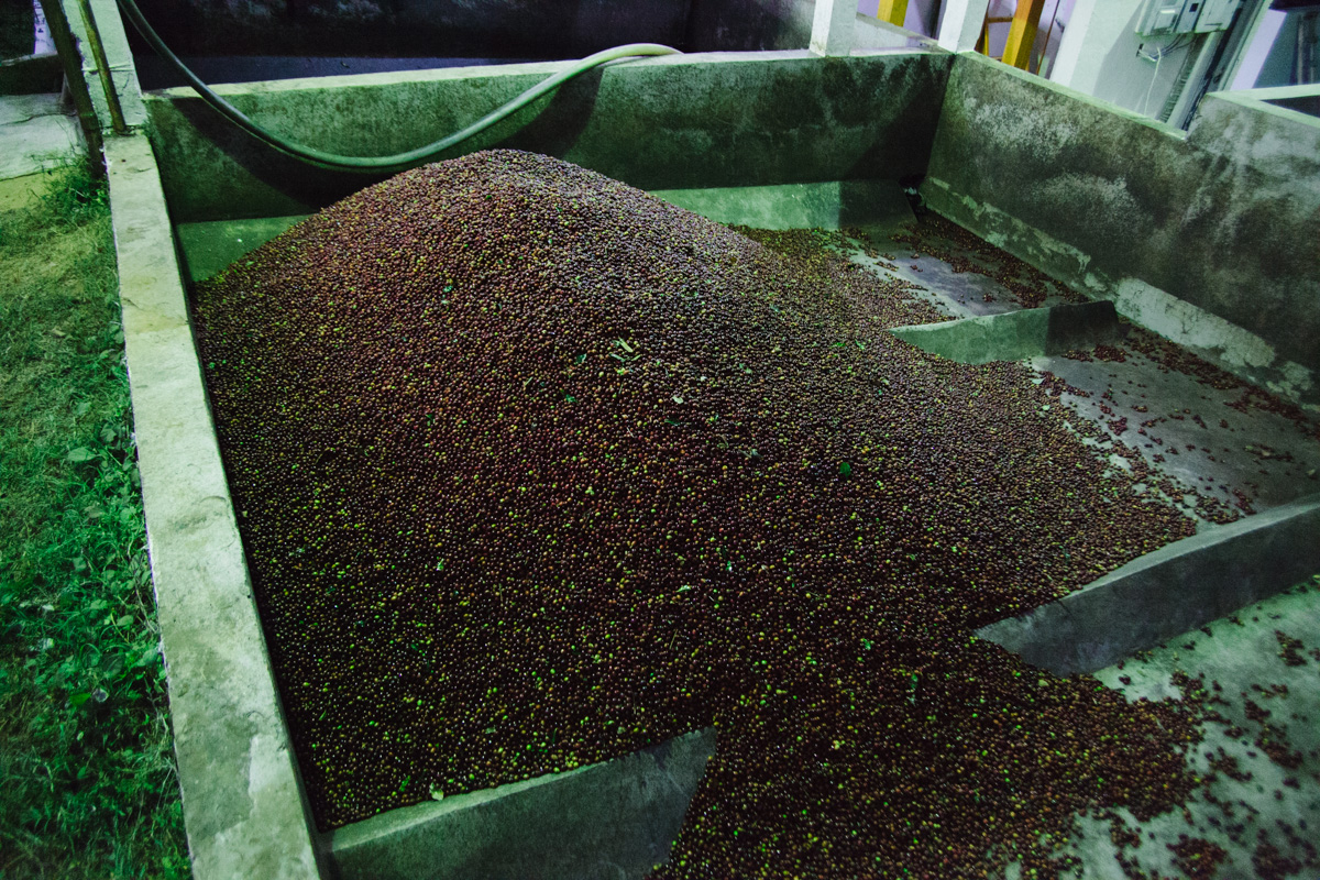 Fresh coffee cherries unloaded for processing.