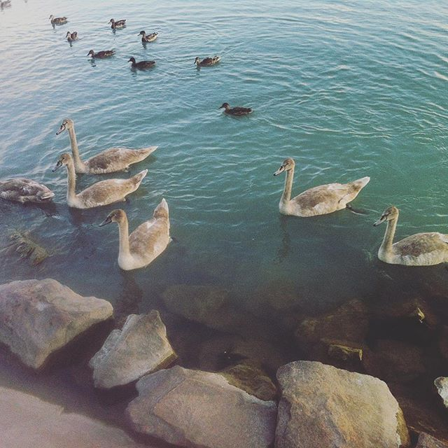 #BeachLife #Swan #Family #Youngsters #Balaton #Hungary