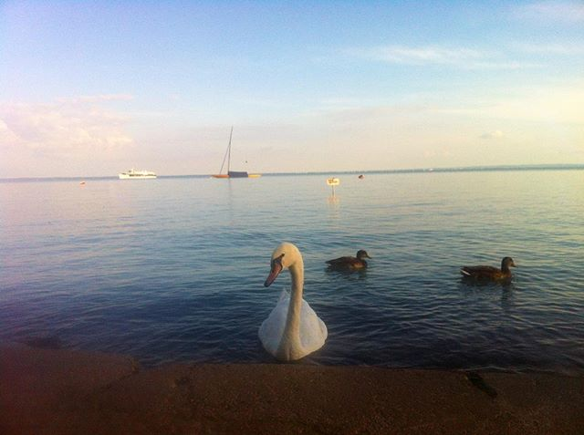 #BeachTime #Swan #Balaton #Hungary