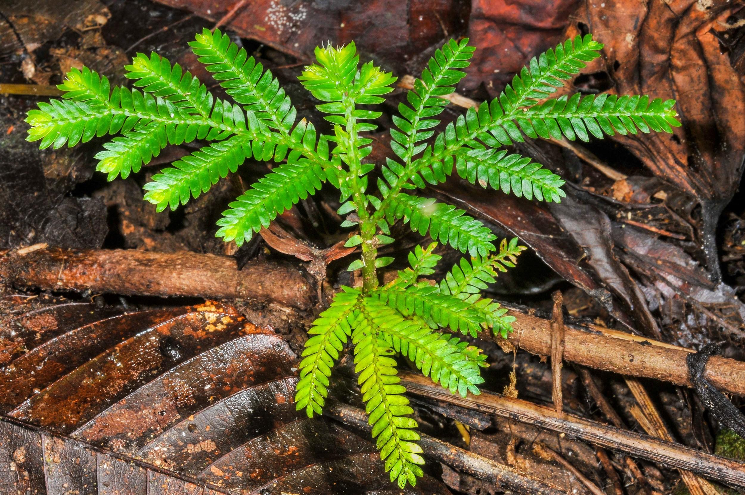 Selaginella fern, also called scattered fan fern.