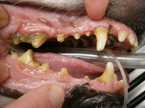 Many dogs have tartar and gingivitis like this older dog. This dog has been a chewer also, note the worn teeth.