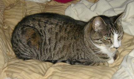Comfy cat meatloaf