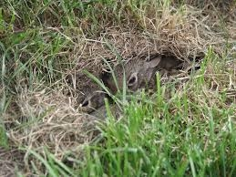 Baby rabbits in their nest.