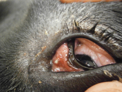 The foreign body is the whitish structure on the 3rd eyelid near the corner of the eye at the center of the picture.